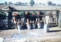 29 Jim Grundy Feeding the Calves.